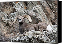 Rams Horn Canvas Prints - Rocky Mountain Big Horn Ram on watch II Canvas Print by Gary Langley