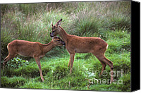Roe Deer Canvas Prints - Roe buck and doe rut Canvas Print by Phil Banks