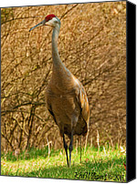 Ken Williams Canvas Prints - Sandhill Crane Canvas Print by Ken Williams