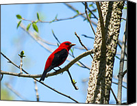 North America Special Promotions - Scarlet Tanager Canvas Print by James Hammen