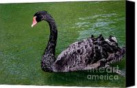 Mary Deal Canvas Prints - Serene Black Swan Canvas Print by Mary Deal