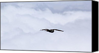 Brad Scott Canvas Prints - Short Eared Owl Above the Clouds Canvas Print by Brad Scott