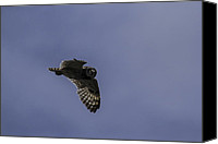 Brad Scott Canvas Prints - Short Eared Owl in Flight Canvas Print by Brad Scott