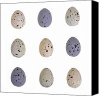 Quail Canvas Prints - Speckled egg tic-tac-toe Canvas Print by Jane Rix
