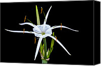 Flowers   Spider Canvas Prints - Spider Lily Beauty DB Canvas Print by Rich Franco