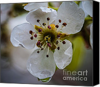 Blossom Special Promotions - Spring Blossom Canvas Print by Mitch Shindelbower