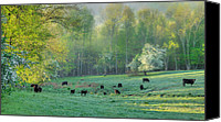 Bulls Photo Canvas Prints - Spring Grazing Canvas Print by Bill  Wakeley