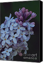 Purple Floral Photo Special Promotions - Spring Lilac Canvas Print by Chris Holmes