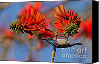 Exotic Bird Canvas Prints - Sunbird on Coral Canvas Print by Ashley Vincent