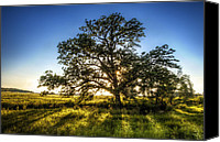 Lone Canvas Prints - Sunset Oak Canvas Print by Scott Norris