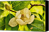 Magnolias Canvas Prints - Sweet Bay Magnolia After The Rain Canvas Print by Lois Bryan