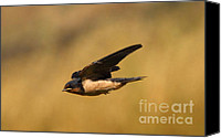 Swallow Canvas Prints - The Fast Flying Swallow Canvas Print by Robert Frederick