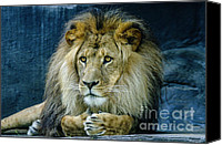 Sheila Smart Canvas Prints - The majestic lion Canvas Print by Sheila Smart