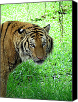 Ramona Johnston Canvas Prints - Tiger Tiger Canvas Print by Ramona Johnston