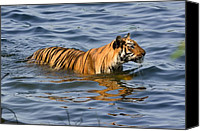 Swim Special Promotions - Tigress of the Lake Canvas Print by Fotosas Photography