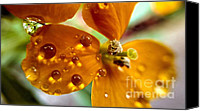 On Special Promotions - Tiny Dew Drop on Wild Flower Macro Canvas Print by Peggy  Franz