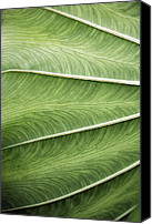 Joseph Duba Canvas Prints - Tropical Leaf No.1 2009 v.1 Canvas Print by Joseph Duba