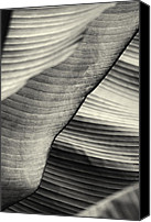 Joseph Duba Canvas Prints - Tropical Leaves No.13 2009 v.2 Canvas Print by Joseph Duba