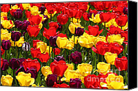 Pacific Northwest Special Promotions - Tulip Colors Canvas Print by Tap On Photo