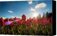 Matt Dobson Canvas Prints - Tulips Kissed By The Sun Canvas Print by Matt Dobson