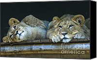 Sheila Smart Canvas Prints - Two beautiful lion cubs Canvas Print by Sheila Smart