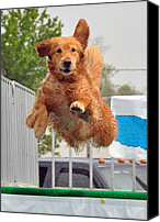 Diving Dog Canvas Prints - Ultimate Air Dog-Golden Retriever Canvas Print by Linda Rusinko