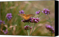 Karen Adams Canvas Prints - Variegated Fritillary Butterfly in Field Canvas Print by Karen Adams