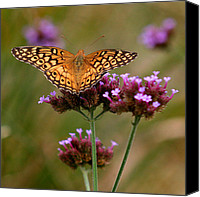 Karen Adams Canvas Prints - Variegated Fritillary Butterfly Square Canvas Print by Karen Adams