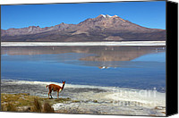 Camelid Canvas Prints - Vicuna at Salar de Surire Canvas Print by James Brunker