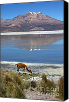 Camelid Canvas Prints - Vicuna grazing at Salar de Surire Canvas Print by James Brunker