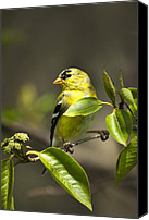 Finches Canvas Prints - Whispering Olive Songbird Canvas Print by Christina Rollo