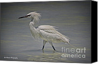 Barbara Bowen Canvas Prints - White morph Reddish Egret Canvas Print by Barbara Bowen
