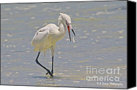 Barbara Bowen Canvas Prints - White morph Reddish Egret fish toss Canvas Print by Barbara Bowen