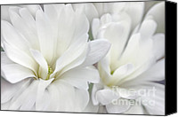 Magnolias Canvas Prints - White Star Magnolia Flowers Canvas Print by Jennie Marie Schell