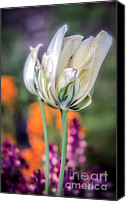 Delicate Bloom Canvas Prints - White Tulip Splash of Color Canvas Print by Julie Palencia