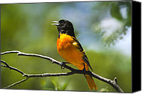 Oriole Canvas Prints - Wild Birds - Baltimore Oriole Canvas Print by Christina Rollo