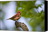 Finches Canvas Prints - Wild Birds - Purple Finch Canvas Print by Christina Rollo