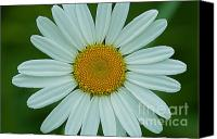 Still Special Promotions - Wild Daisy Canvas Print by Chris Holmes