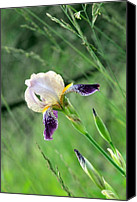 National Photo Special Promotions - Wild Iris Canvas Print by Justin Brewer