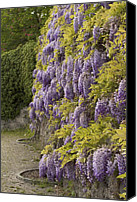 Vevey Canvas Prints - Wisteria Canvas Print by Colleen Williams