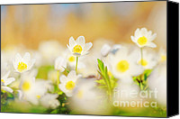 Thimbleweed Canvas Prints - Wood Anemone Canvas Print by Stefan Holm