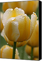 Juergen Roth Canvas Prints - Yellow Tulips Canvas Print by Juergen Roth