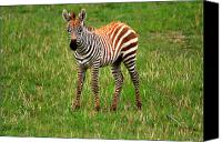 Moran Canvas Prints - Zebra Foal - Masai Mara Canvas Print by Aidan Moran