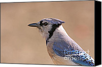 Forest Pyrography Canvas Prints -  Blue Jay posing Canvas Print by David Cutts