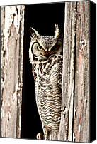Saskatchewan Canvas Prints -  Great Horned Owl perched in barn window Canvas Print by Mark Duffy