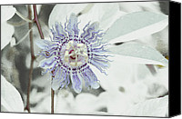 Inviting Canvas Prints -  Passion Flower On White Canvas Print by Tom Wurl