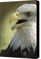Captive Canvas Prints - A Bald Eagle Haliaeetus Leucocephalus Canvas Print by Joel Sartore