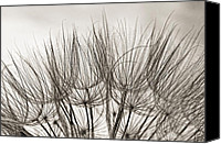 Tragopogon Dubius Scop Canvas Prints - A Delicate World monochrome Canvas Print by Steve Harrington