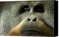 Orangutan Photo Canvas Prints - A Male Orangutan At The Sedgwick County Canvas Print by Joel Sartore