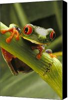 Red-eyed Frogs Canvas Prints - A Red-eyed Tree Frog Agalychnis Canvas Print by Steve Winter